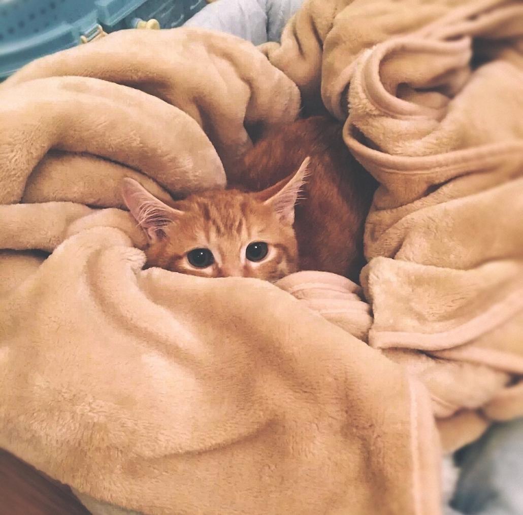 cat euthanasia - ginger kitten