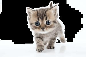 kitten-vaccinations
