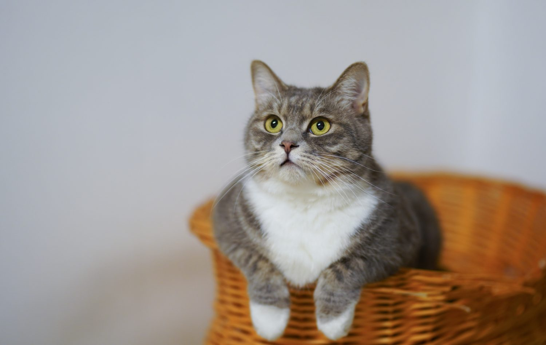 symptoms of cat diabetes