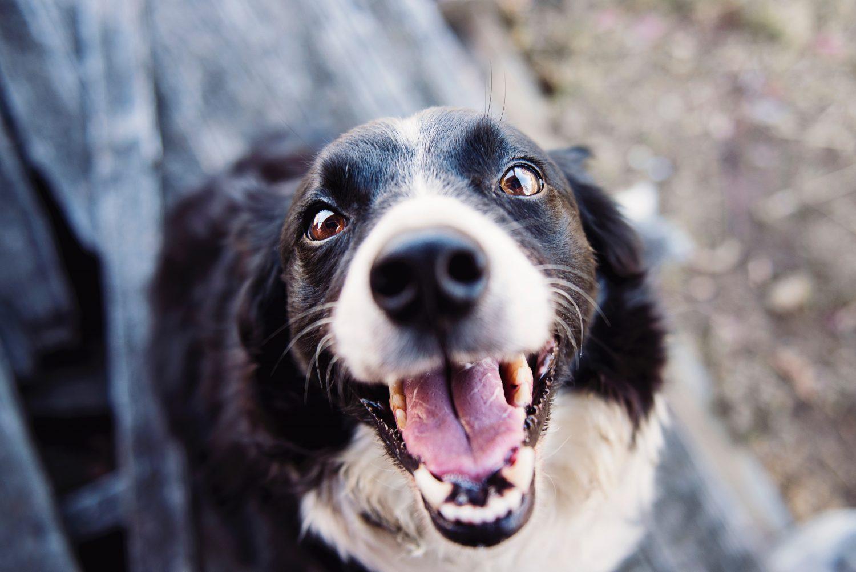 preparing for tick season - smiling sheep dog