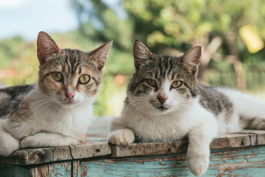 tick bites in cats