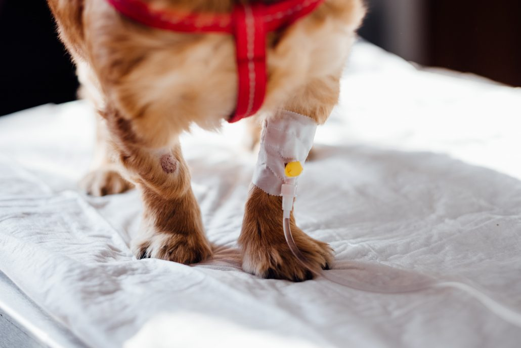mobile vet dog with IV