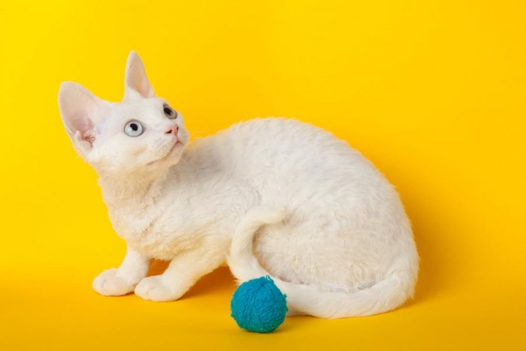 24hr vet south brisbane cat on yellow background