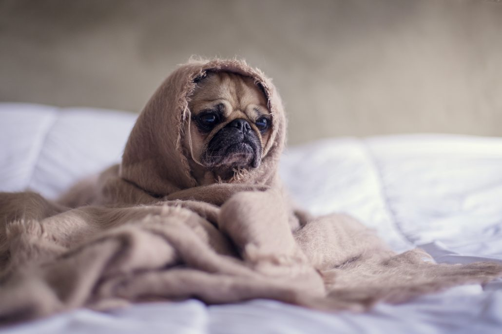 After Hours Vet Brisbane - pug in blanket