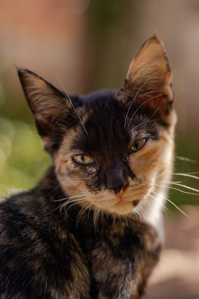 kitten injections calico cat