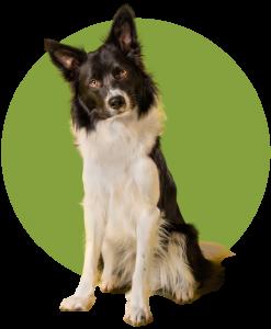 24hr Vet Kenmore Hills Shepard dog