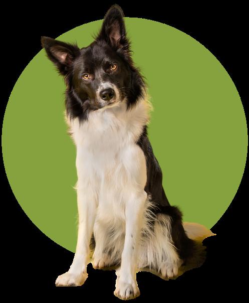 Emergency Vet kenmore - Shepard dog