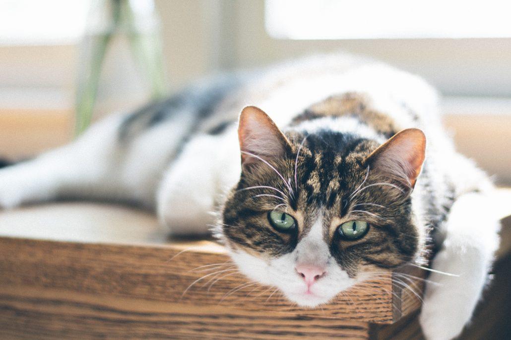 pet Euthanasia - cat on table