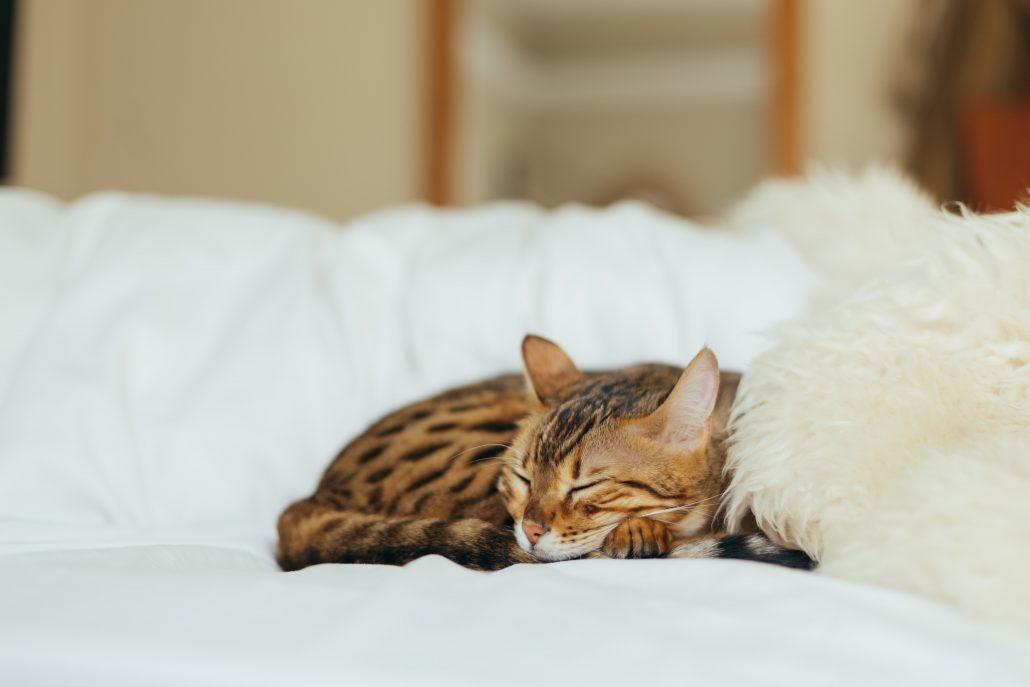 mobile vet clinic brisbane cat on bed