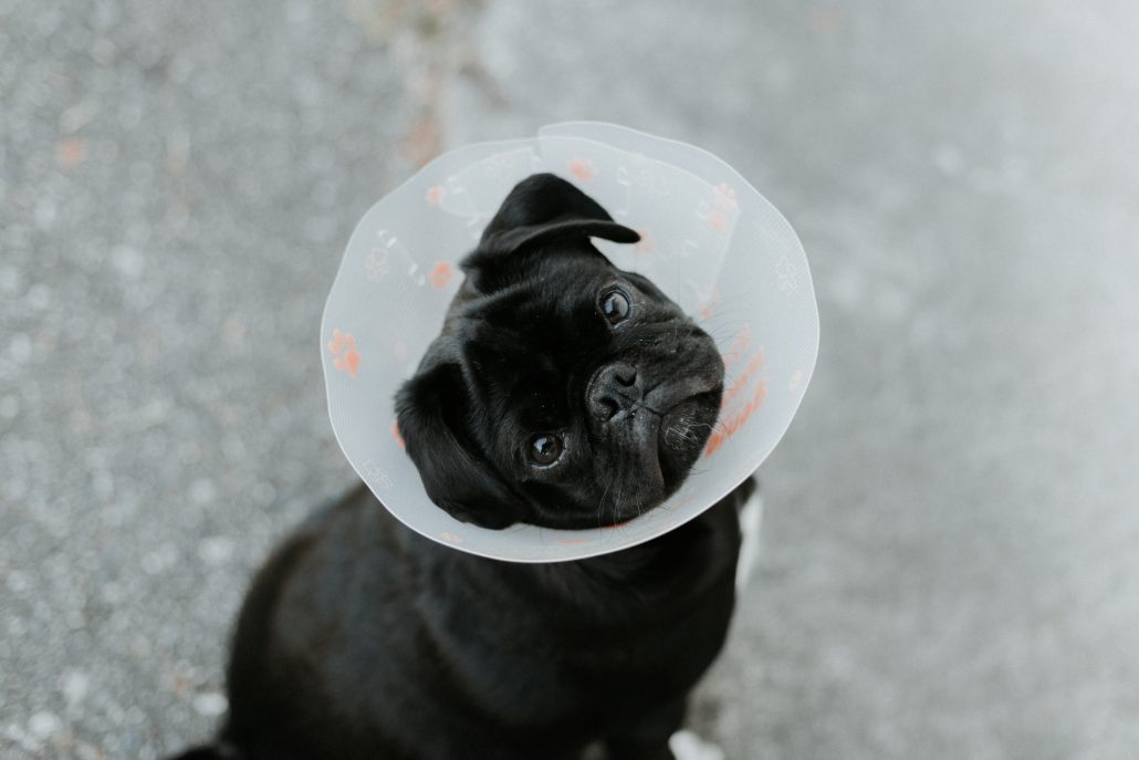 After Hours Vet Brisbane - pug with cone