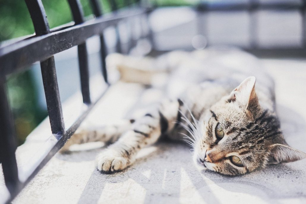 hypertension in cats cat laying on porch