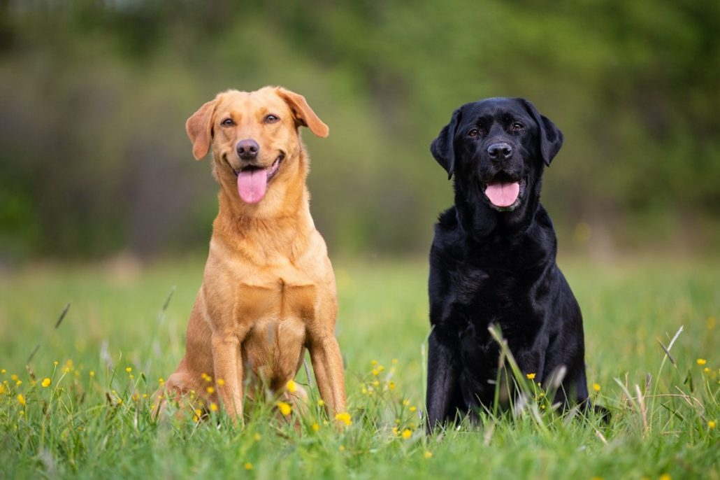 hip dysplasia in dogs black and golden Labrador dogs