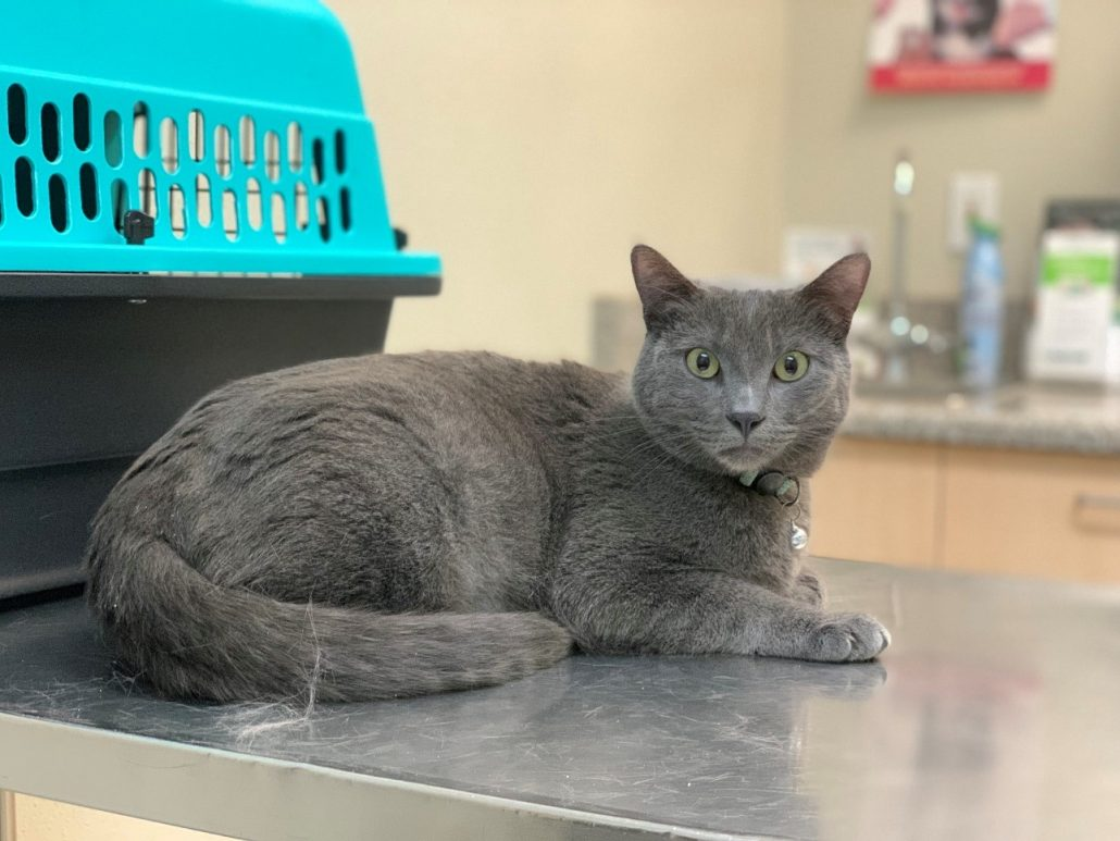 hypertension in cats grey cat on examination table