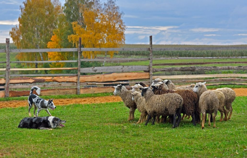 hip dysplasia in dogs sheep dog and sheep