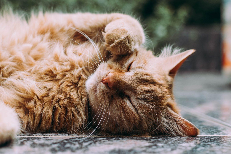 after hours vet kenmore hills - cat on floor
