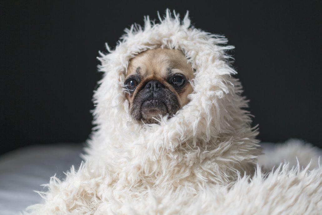 pet Euthanasia - pug in blanket