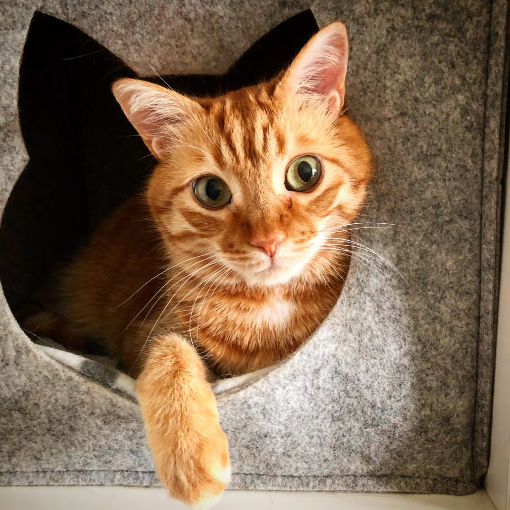 The Importance Of Pet Vaccination - cat in box