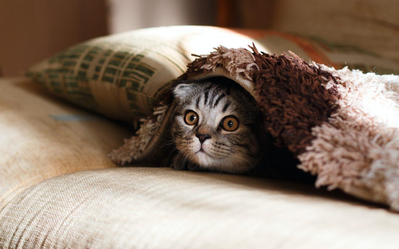 Emergency Vet Care Brisbane - kitten under blanket
