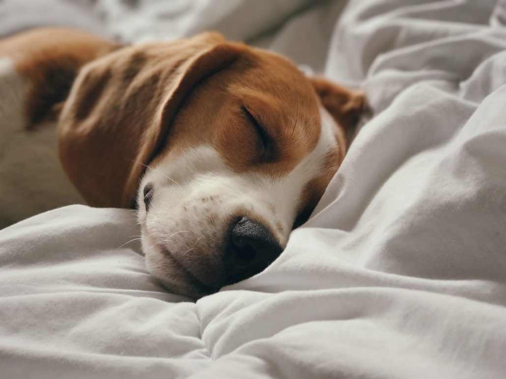 The Importance Of Pet Vaccination - dog sleeping on blanket