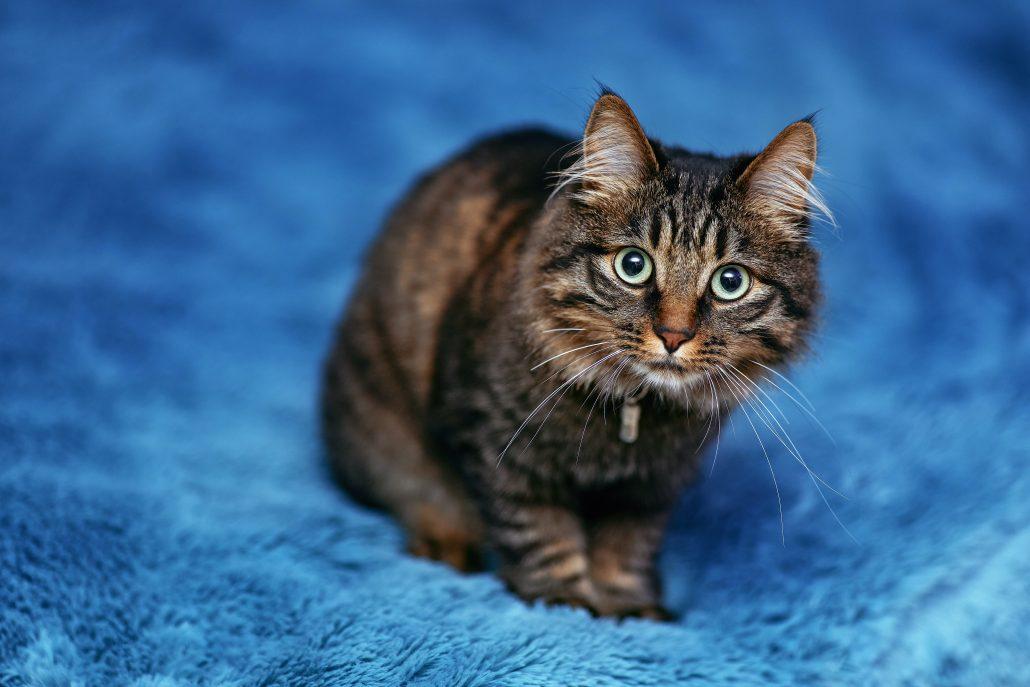 cat clinic - cat on blue blanket