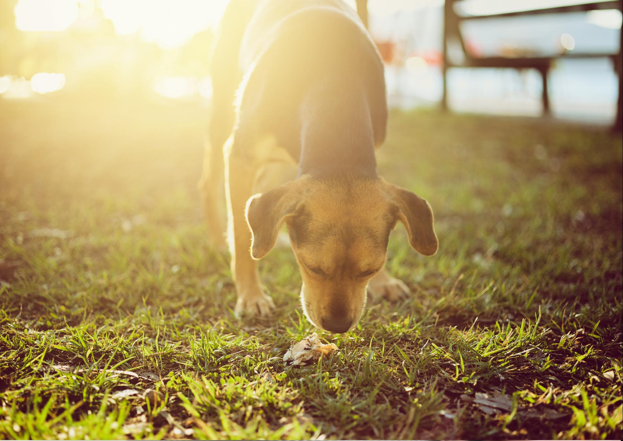 Emergency Vet Care Brisbane - eating dog