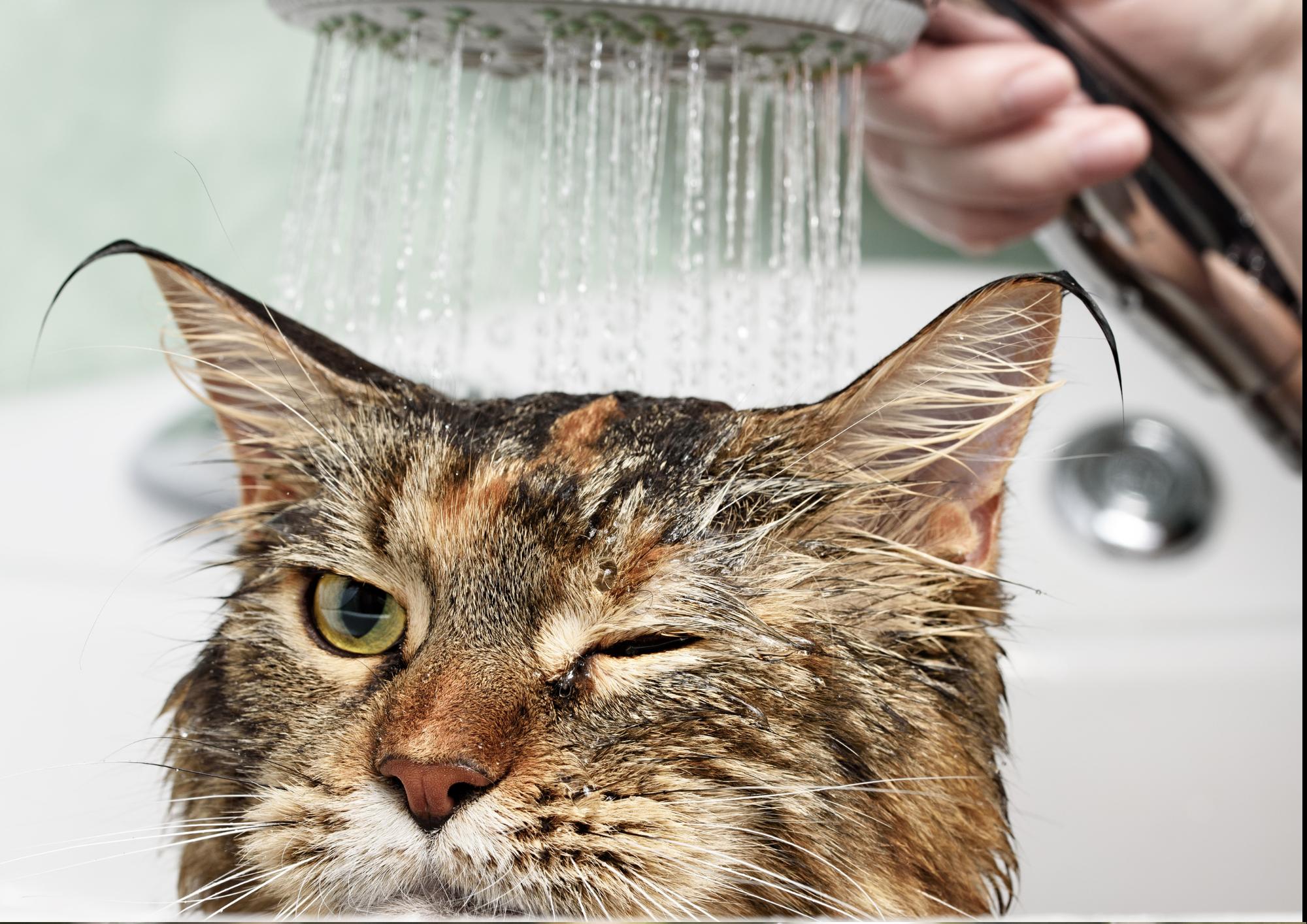 f3 vaccination - bathing cat