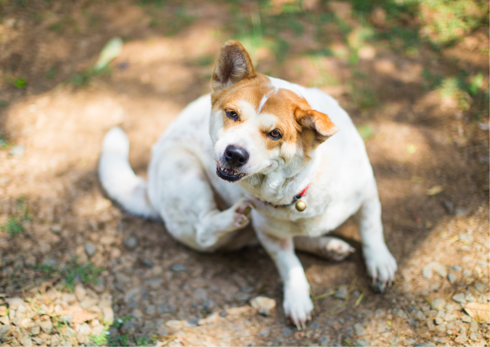 How To Tell Your Pet Has Allergies - itchy dog