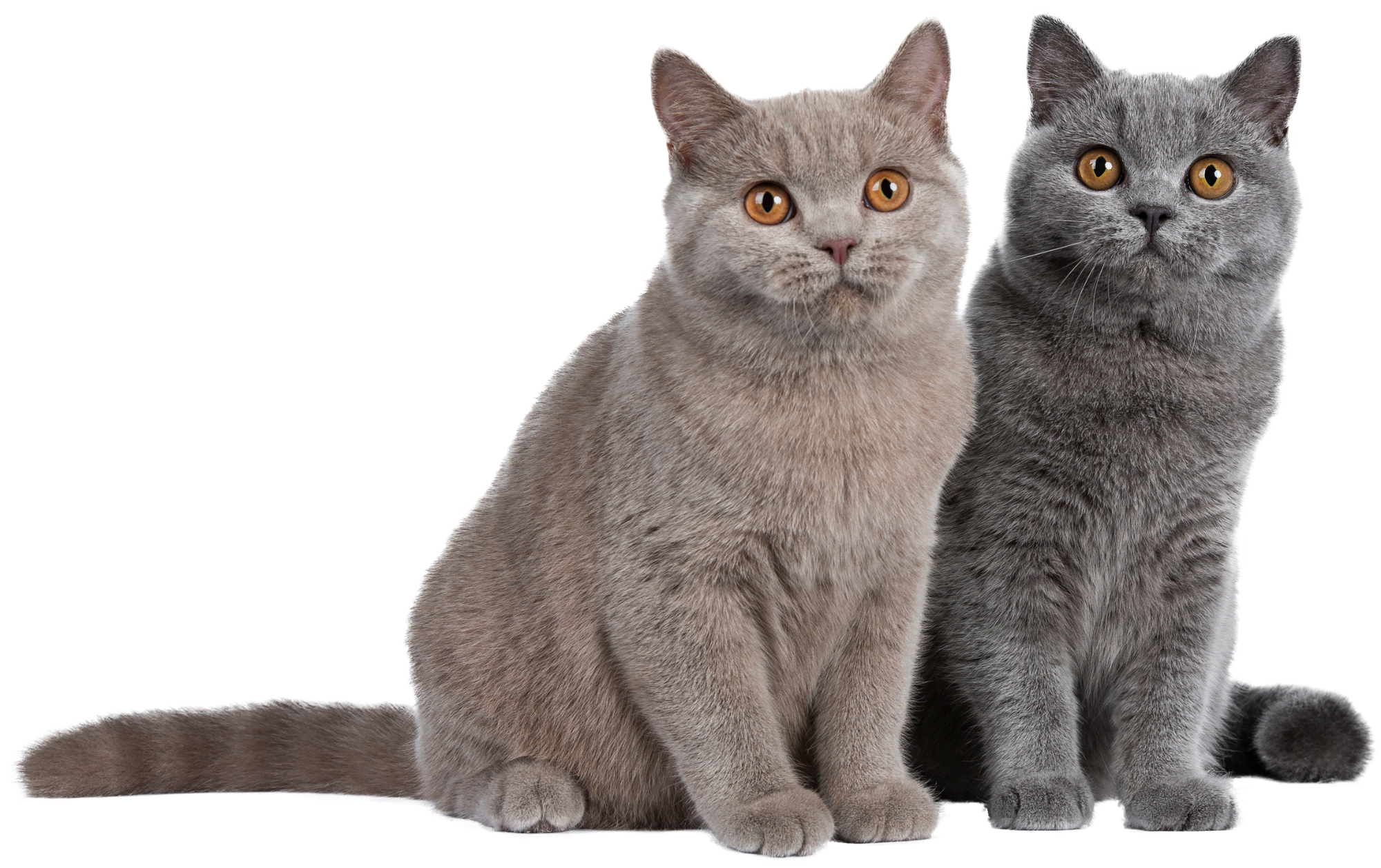 F3 Vaccination- grey cats