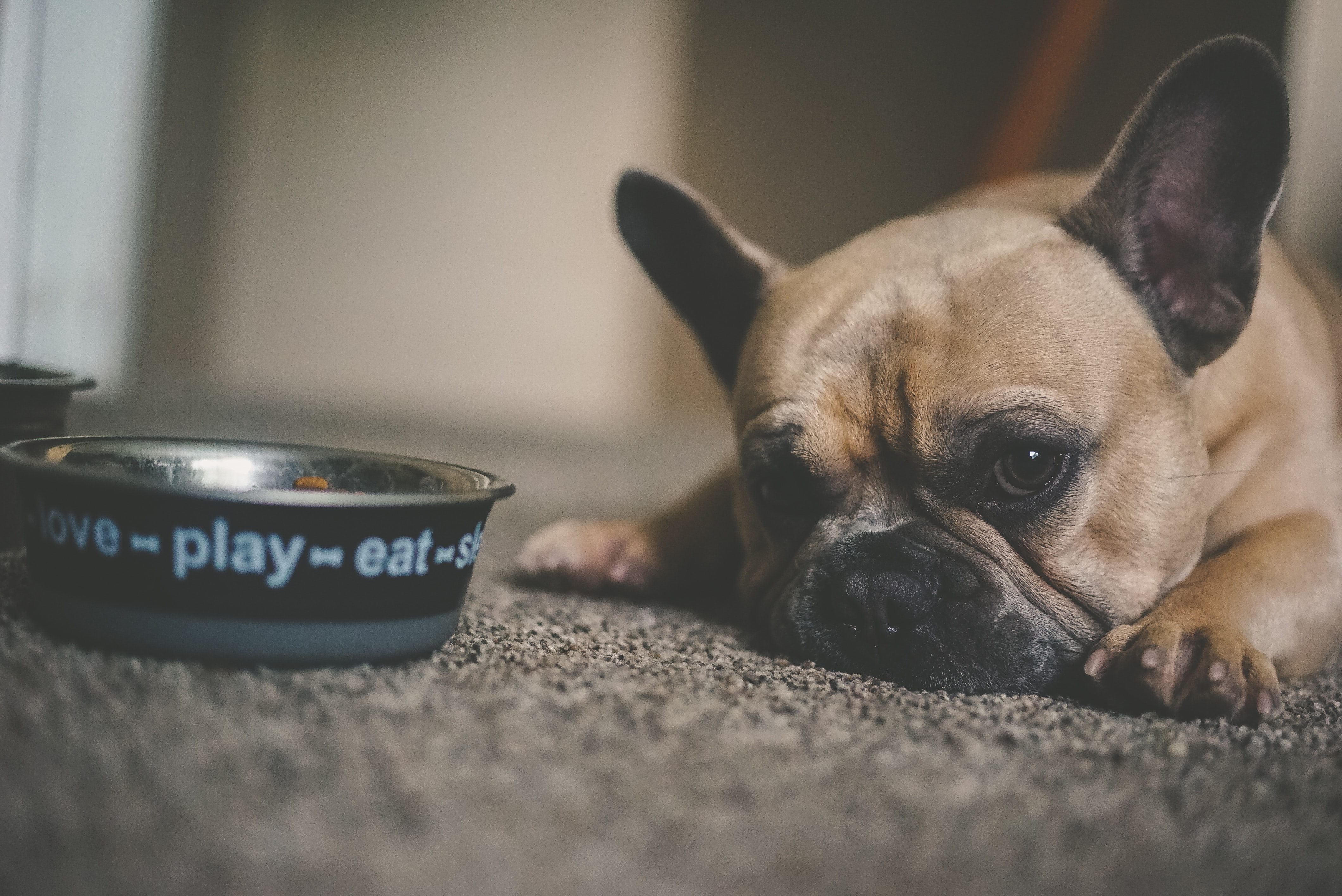 Signs Of Dental Disease In Pets - pug and bowl
