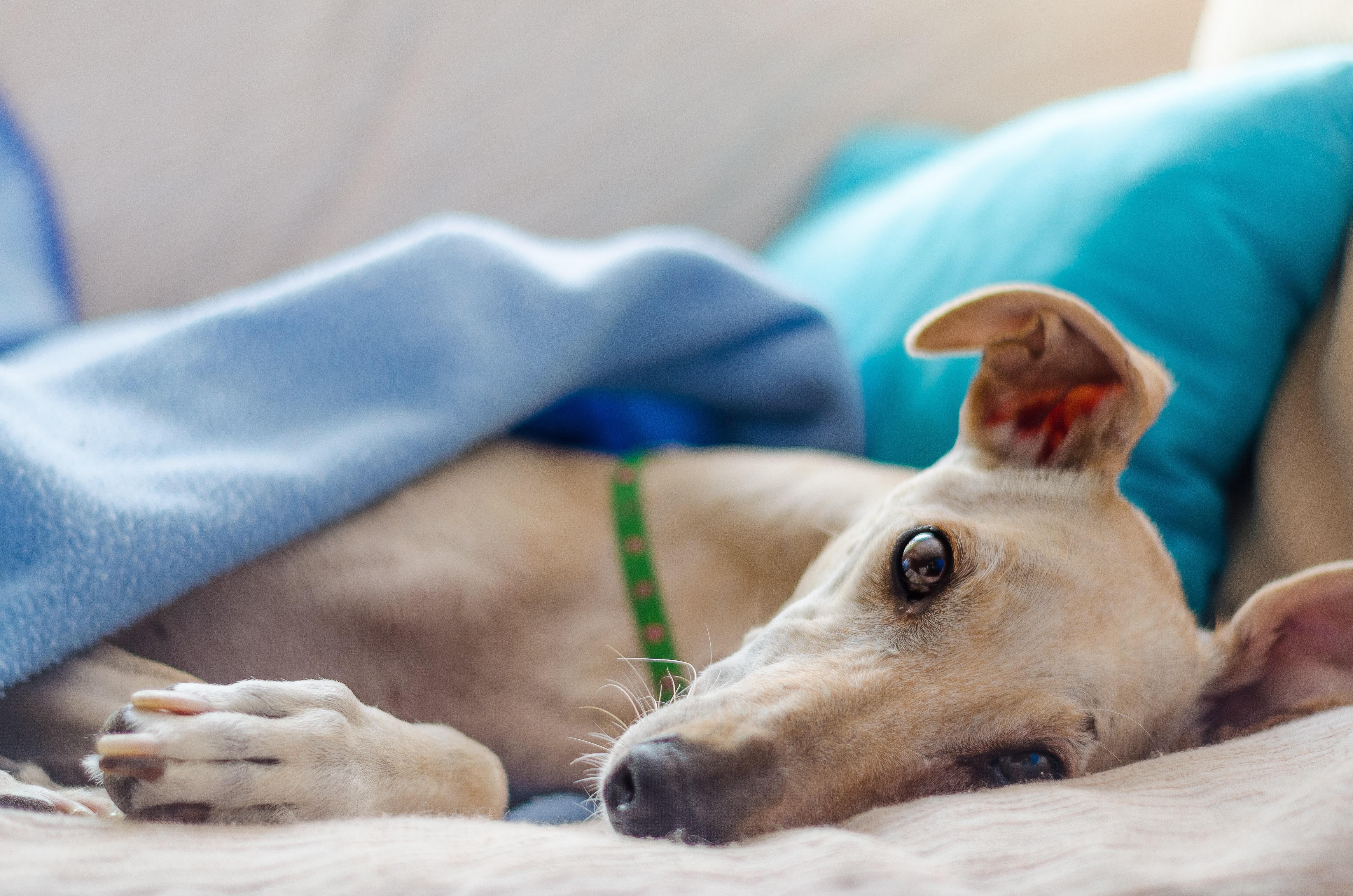 Paralysis Tick - dog under blanket