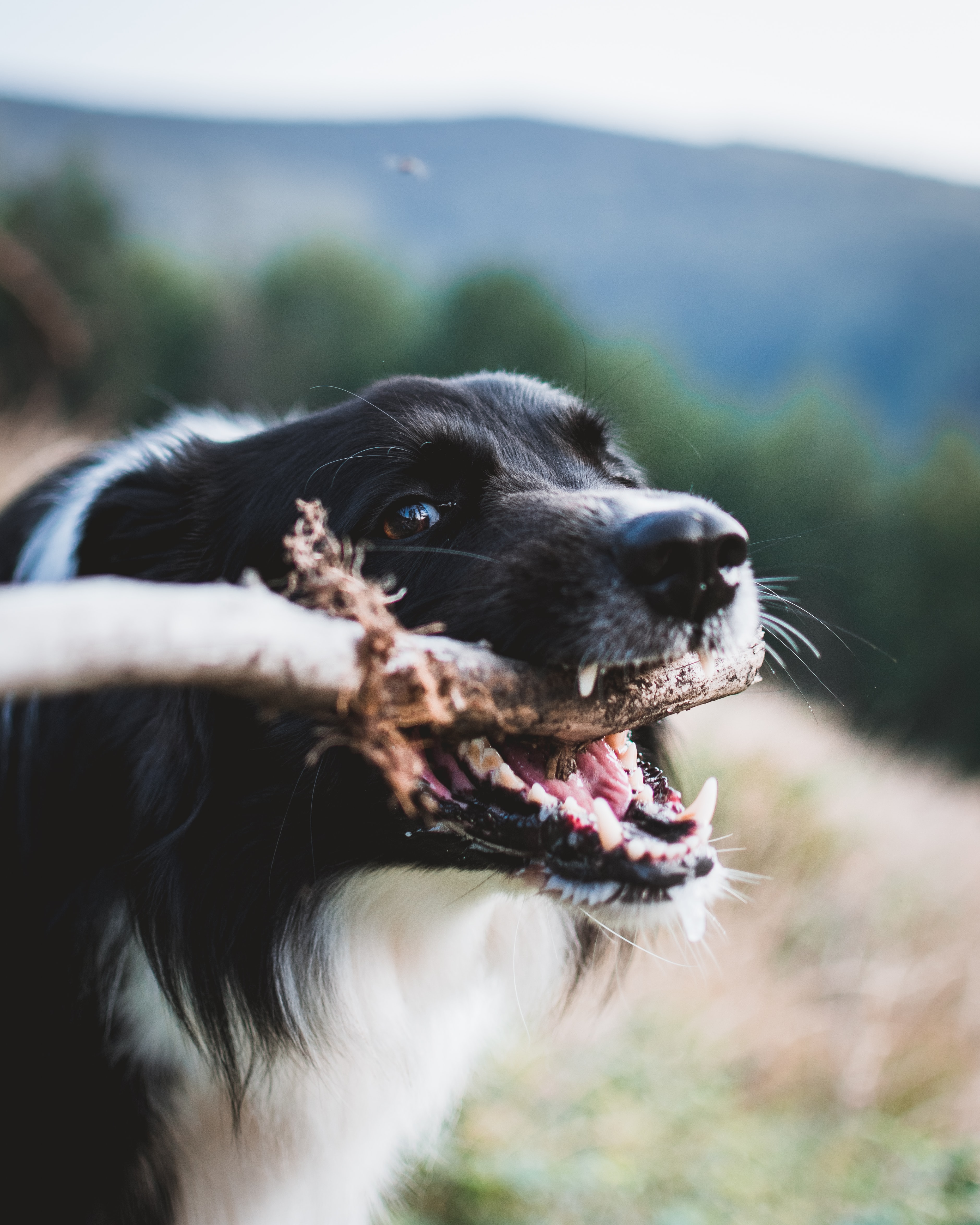 Signs Of Dental Disease In Pets - dog and stick