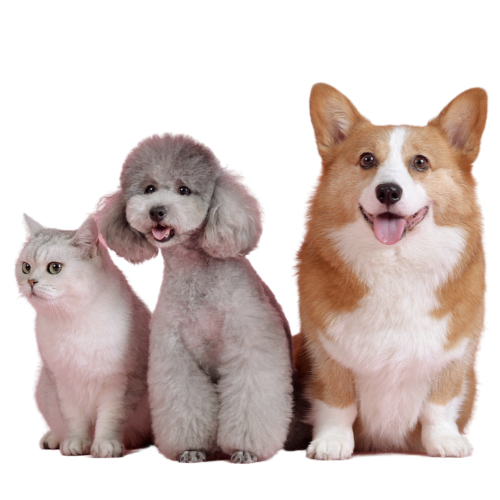Brisbane Vets - corgi, poodle and white cat