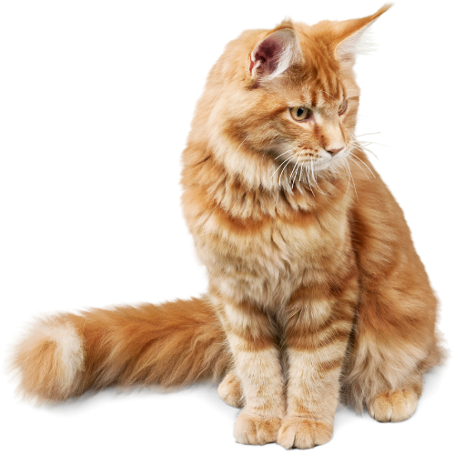 Indooroopilly vets - Orange long haired cat