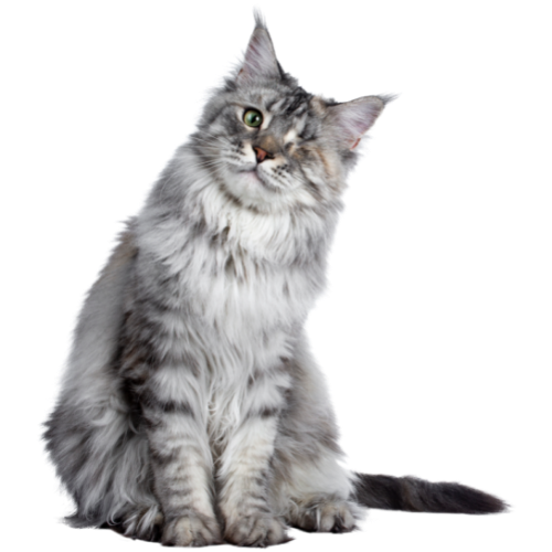 Brisbane Vets - grey cat