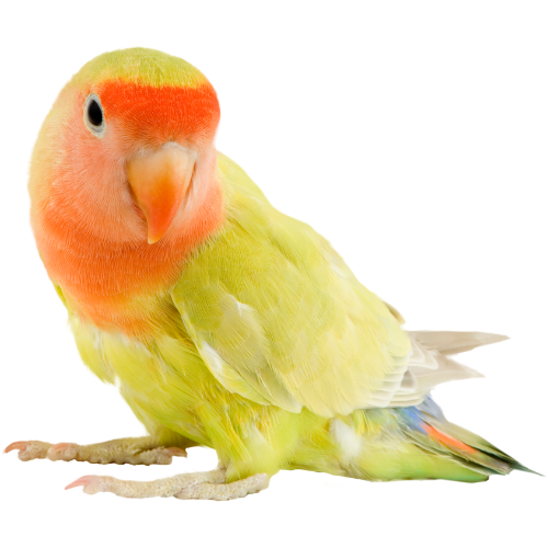 Bird Vet - orange and green sun conure