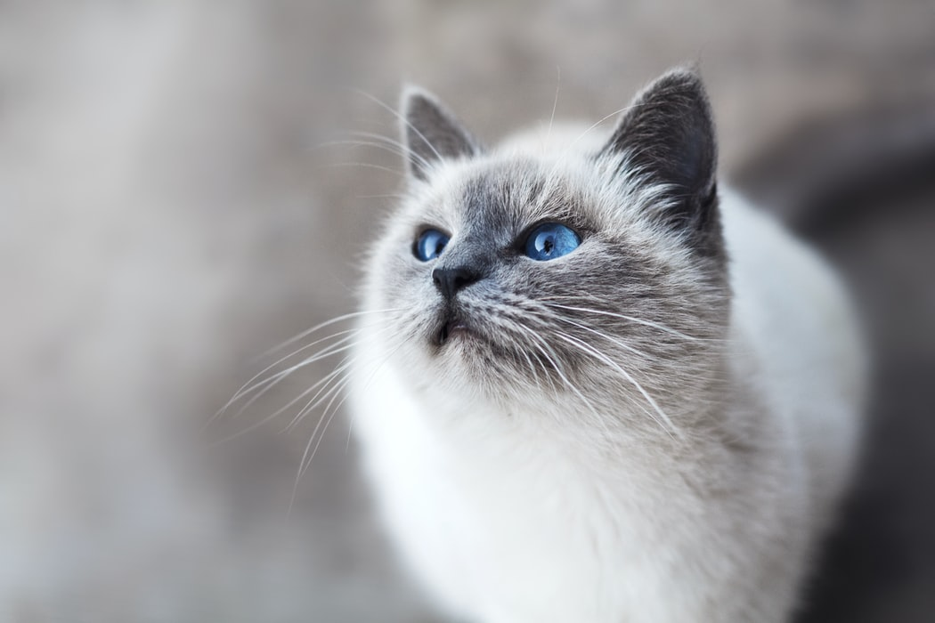 Why is Microchipping a must? - blue eyed cat