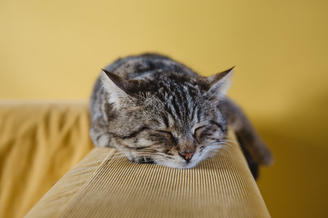 kitten injections - grey cat on yellow couch