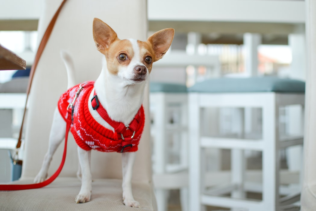 Paralysis Tick - small dog in red jersey