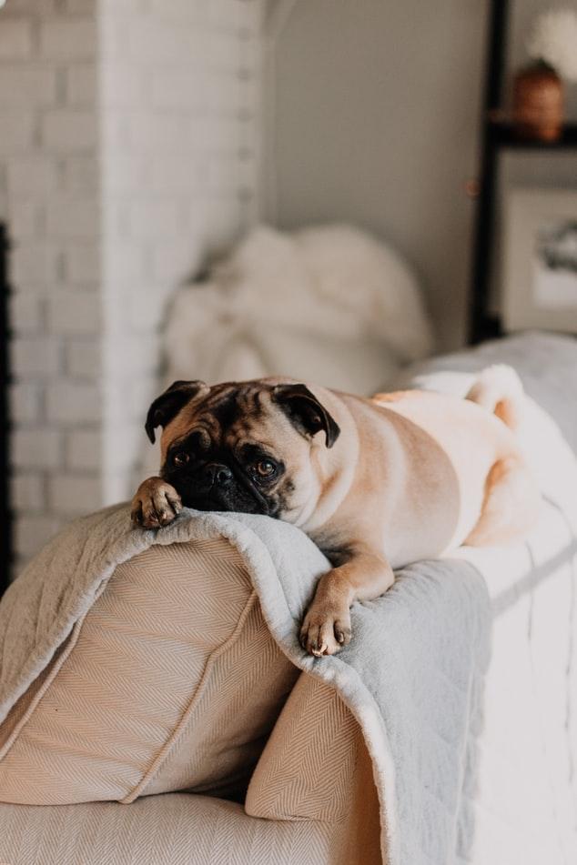 Dog C5 Vaccinations - pug on a sofa backrest