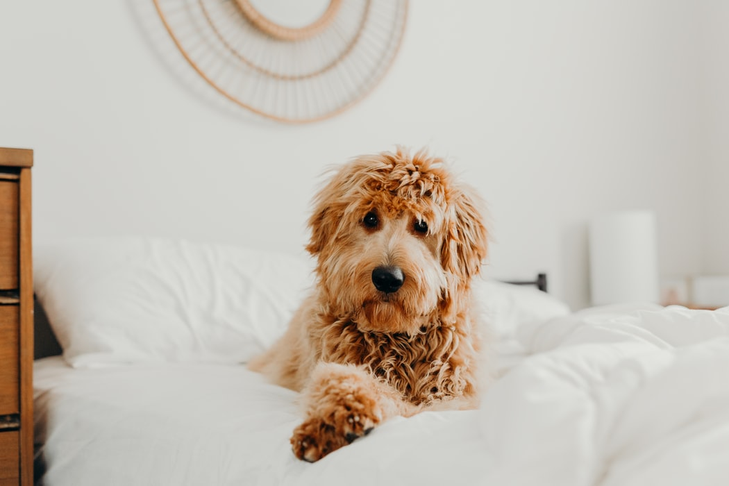 Why is Microchipping a must? - fluffy dog on white bed