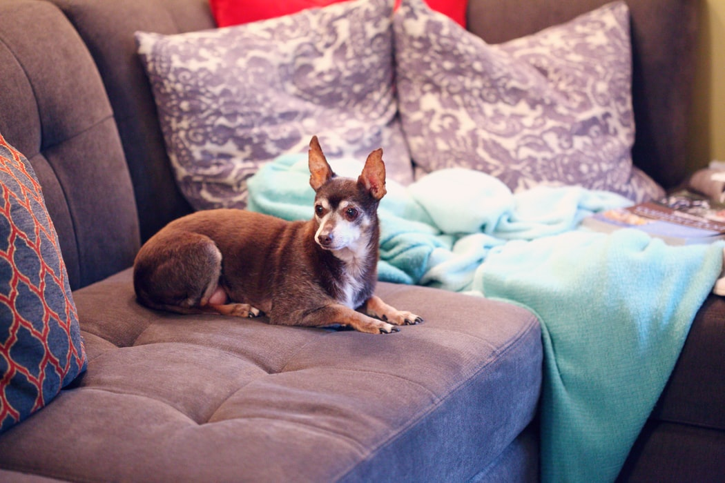 signs your pet is in pain - old small dog on couch