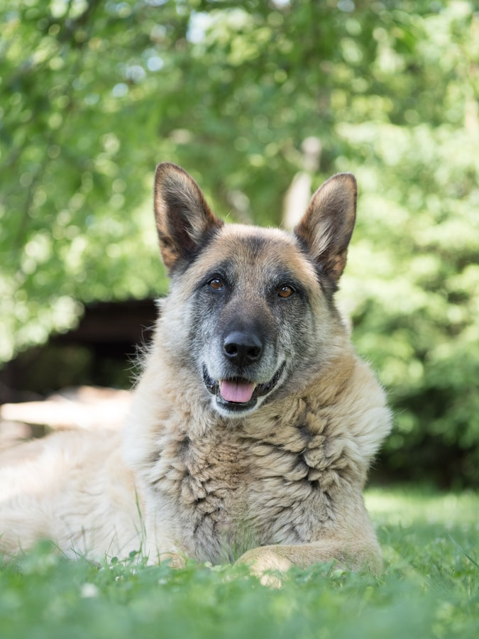 Senior Pet Care - old dog in grass