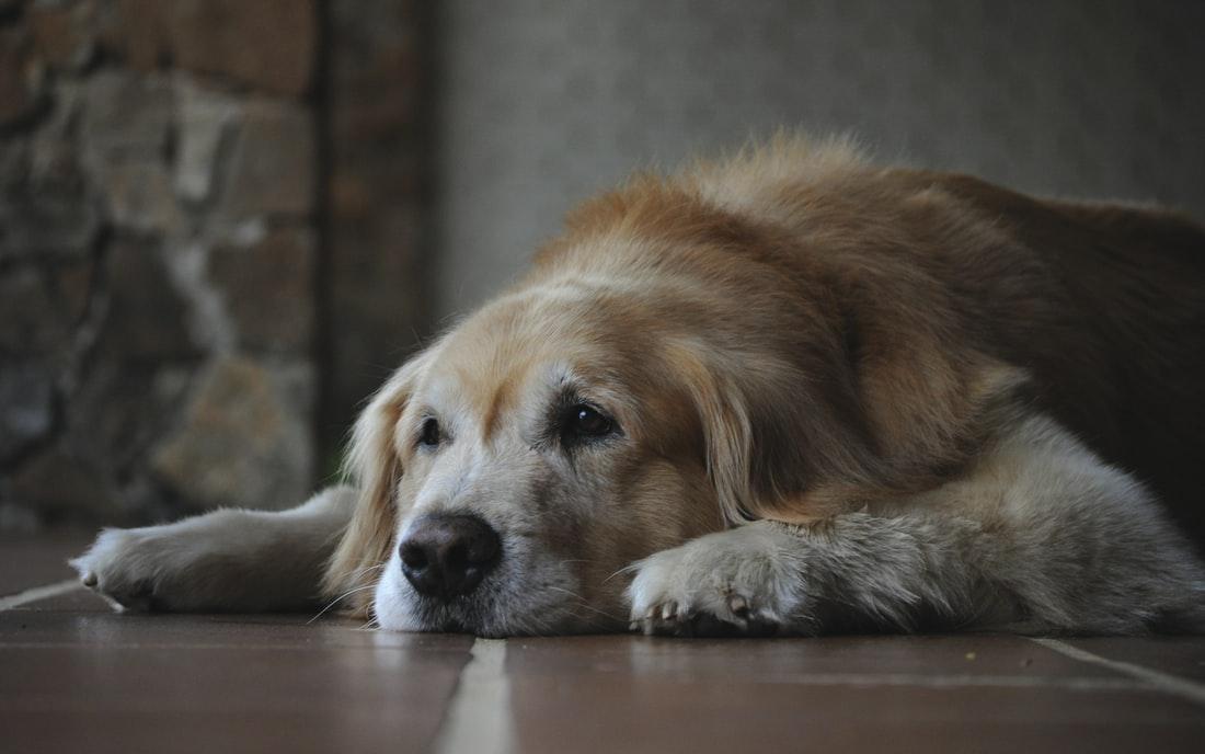 Fortitude Valley Vets - sleeping labrador