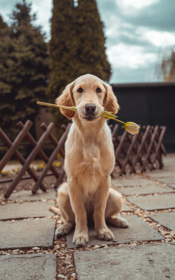 Puppy Vaccinations - young dog holding flower in his mouth
