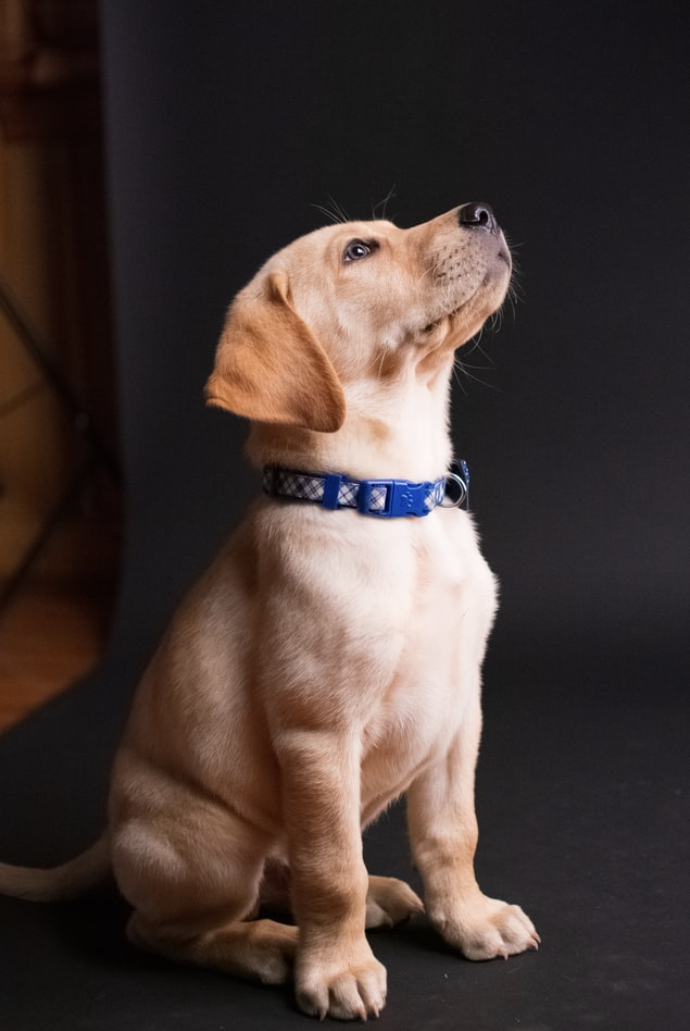 Dog vaccinations - puppy with blue collar