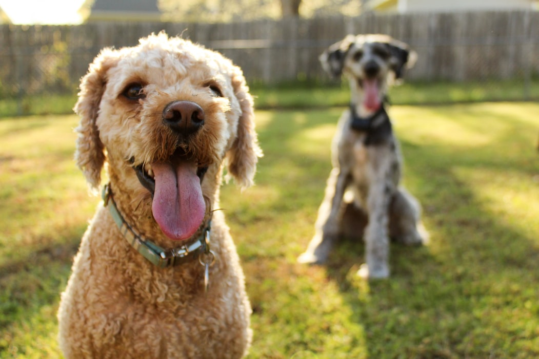 Keep Your Dog Healthy - large fluffy dogs on grass