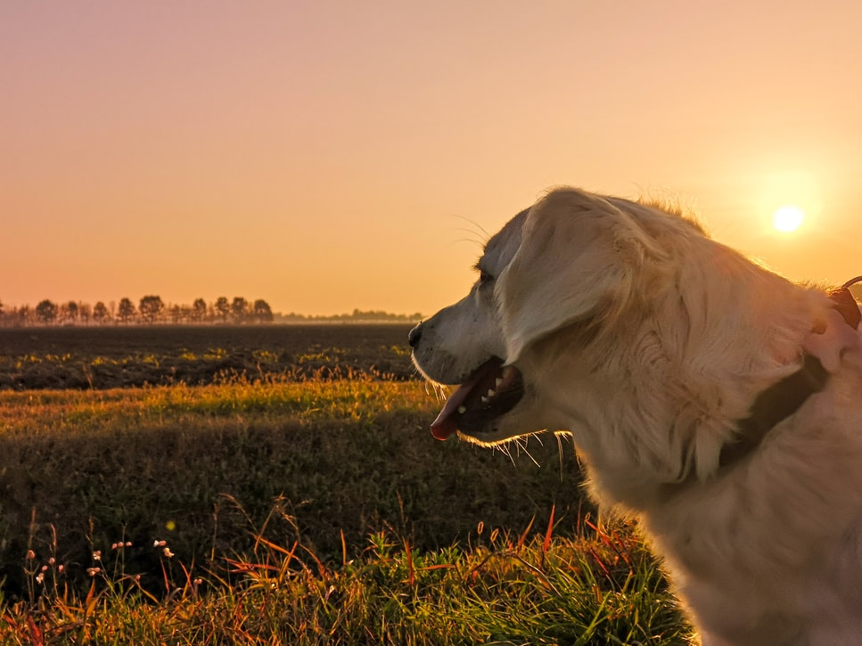 annual dog vaccinations - yellow lab at sunset