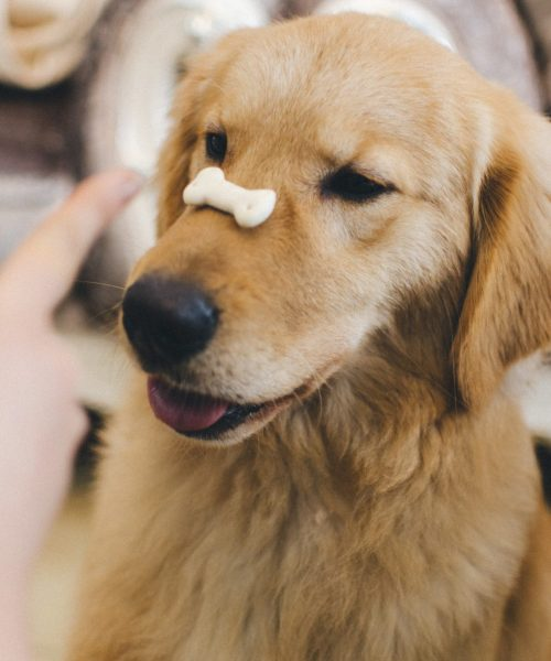 Dc3 vaccinations - dog with biscuit on snout
